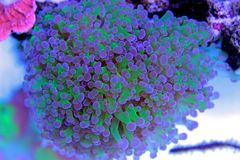 Frogspawn LPS Coral Euphyllia divisa. The Frogspawn Coral is a large polyp stony coral LPS often referred to as the Wall, Octopus, Grape, or Honey Coral. Its royalty free stock photography