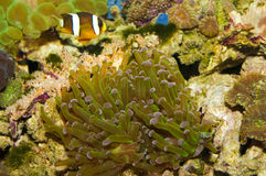 Frogspawn Coral (Polyp) Royalty Free Stock Image