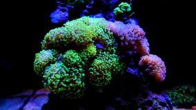 Frogspawn-LANGSPIELPLATTEN Coral Euphyllia-divisa Stockfotos