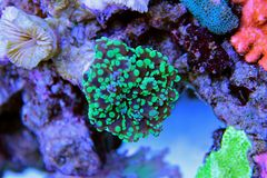 Frogspawn LPS Coral Euphyllia divisa. The Frogspawn Coral is a large polyp stony coral LPS often referred to as the Wall, Octopus, Grape, or Honey Coral. Its royalty free stock images