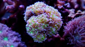 Frogspawn LPS Coral Euphyllia divisa. The Frogspawn Coral is a large polyp stony coral LPS often referred to as the Wall, Octopus, Grape, or Honey Coral. Its stock images