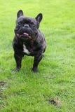 Frohe Zeit im Garten mit einer reizenden französischen Bulldogge stockfotos