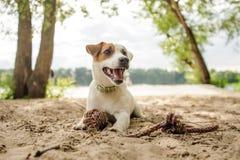 Froher und netter Jack Russell Terrier-Welpe, der mit einem Seil auf dem Strand spielt lizenzfreies stockbild