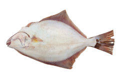 Froid de poissons de flet de retour d'isolement Photographie stock