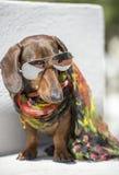 Froids élégants de chien dans des lunettes de soleil Photos libres de droits