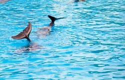 Frolic 2 дельфинов в голубой чистой воде стоковое изображение
