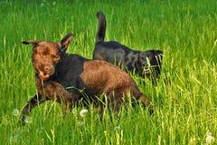 Frolic 2 собак в траве стоковые фото