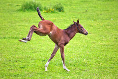 Frolic foal royalty free stock photo