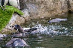 Frolic humboldti spheniscus ` пингвина Гумбольдта в воде и стоковая фотография rf