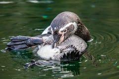 Frolic humboldti spheniscus ` пингвина Гумбольдта в воде и стоковые изображения rf