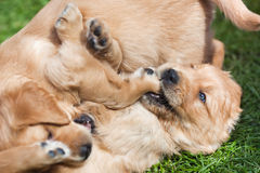Frolic puppies. Cute Golden Retreiver puppy siblings playing frolic on the lawn Royalty Free Stock Images