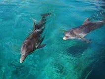 Frolicking δελφίνι Тwo Στοκ Εικόνα