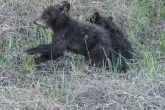 Frolicking around in he grass. Four month old black bear cubs enjoying there play time . Mid May northern Alberta royalty free stock photography