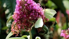 Frolicking brimstones upon pink Buddleja flower stock footage
