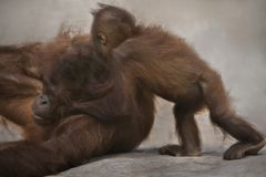 Frolicking Orangutans at Lowry Park Zoo in Tampa Stock Images