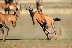 Frolicking red hartebeest Stock Photography
