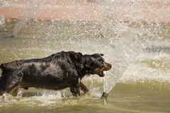Frolicking Rottweiler Playing in the Water Fountain Stock Image