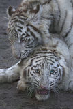 Frolicking tigers Stock Photography