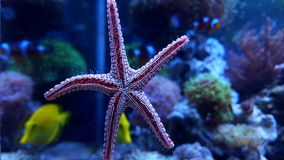 Fromia elegance starfish Royalty Free Stock Images