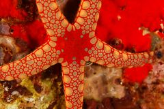 Fromia monilis - Andaman Sea Stock Photos