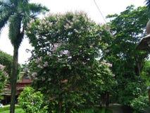 Arjun flower stock images