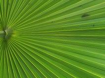 Frond пальмы плиссирует картину стоковые изображения rf