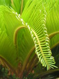 Frond. Beautiful part of young leaves Stock Photography
