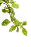 Frond. The branch with leaves houseplant Royalty Free Stock Image