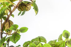 Frond. The branch with leaves houseplant Stock Images