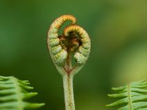 A frond of common bracken fern opening. A frond of common bracken fern, Pteridium aquilinum, opening in spring Royalty Free Stock Image