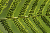Frond fern texture closeup royalty free stock images