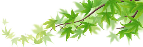 Frond with green maple leaves Royalty Free Stock Photography