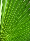 frond liść palmowa tekstura Obraz Stock