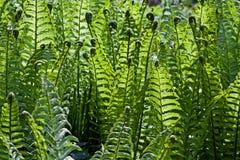 frond paprociowa świeża zieleń Zdjęcie Royalty Free