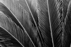 Frond Texture. Long fronds of tropical leaves reveal exquisite texture in classic black and white Stock Photography
