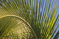 Fronda arqueada da palma Fotografia de Stock