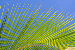 Fronda da palma Imagem de Stock Royalty Free