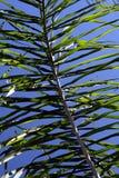 Fronda de la palma Imagen de archivo