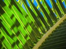 Fronda del cocco Fotografie Stock