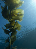 Fronda del kelp Immagine Stock
