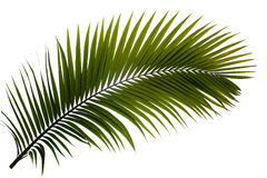 Fronda della palma Fotografia Stock Libera da Diritti