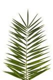 Fronda della palma Fotografia Stock