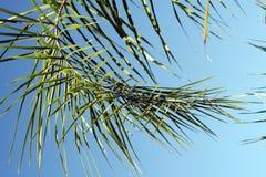 Fronda della palma Immagine Stock Libera da Diritti