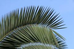 Fronda della palma Fotografie Stock Libere da Diritti