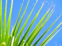 Fronda della palma Immagini Stock