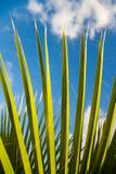 Fronda della palma Fotografie Stock