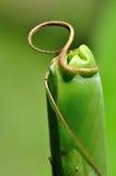 Fronda della palma della banana pronta a spiegare Immagini Stock Libere da Diritti