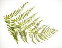 Fronda do Fern no branco Fotografia de Stock
