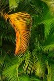 Fronda dorata della palma contro la pianta della giungla fotografia stock