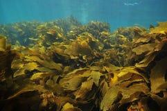 Frondas da alga que movem-se com água Foto de Stock Royalty Free